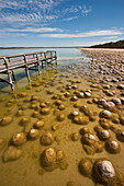 Thrombolites, a variey of microbialite or living rock that produce oxygen and deposit calcium carbonate, similar to some of the earliest fossil forms of life found on Earth, Lake Clifton, Yalgorup National Park, Mandurah, Western Australia, Australia, Pac