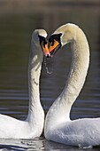Mute swan pair, Cygnus olor, courting at Martin Mere Wildfowl and Wetlands Trust nature reserve, Burscough, Lancashire, England, United Kingdom, Europe