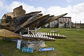Whale skeleton in private garden, Port Stanley, Falkland Islands, South America