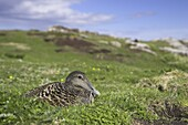 Female eider duck on nest, Somateria mollissima, Isle of May, Scotland, United Kingdom, Europe