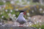 Arctic tern, Sterba paradisaea, Isle of May breeding colony, Fife, Scotland, United Kingdom, Europe