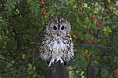 Tawny owl (Strix aluco), on gate with rosehips, captive, Cumbria, England, United Kingdom, Europe