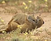 Two yellow mongoose (Cynictis penicillata) fighting, Kgalagadi Transfrontier Park, encompassing the former Kalahari Gemsbok National Park, Northern Cape, South Africa, Africa