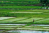 Woman in rice field, near Semarang, Java, Indonesia, Asia