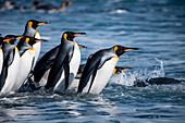 Group of king penguins (Aptenodytes patagonicus) enters water from beach, Salisbury Plain, South Georgia Island, Antarctica
