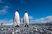 Two king penguins (Aptenodytes patagonicus) on beach, Salisbury Plain, South Georgia Island, Antarctica