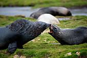Two fur seals nose to nose, Stromness, South Georgia Island, Antarctica