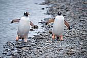 Two Gentoo penguins (Pygoscelis papua) on a rocky beach, Stromness, South Georgia Island, Antarctica