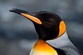 Close-up of king penguin (Aptenodytes patagonicus), Gold Harbour, South Georgia Island, Antarctica