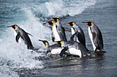King penguins (Aptenodytes patagonicus) return to sea from beach, Gold Harbour, South Georgia Island, Antarctica