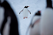 A Gentoo penguin (Pygoscelis papua) waddling aroung the Port Lockroy British Antarctic Survey Station, Port Lockroy, Wiencke Island, Antarctica