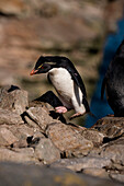 Southern rockhopper penguin (Eudyptes chrysocome) jumps from rock to rock, New Island, Falkland Islands, British Overseas Territory