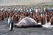 Male southern elephant seal (Mirounga leonina) amidst a colony of king penguins (Aptenodytes patagonicus) on beach, Gold Harbour, South Georgia Island, Antarctica