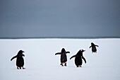Four gentoo penguins (Pygoscelis papua) on iceberg, Weddell Sea, Antarctic Peninsula, Antarctica