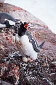 Gentoo penguin (Pygoscelis papua) on nest with eggs, Port Lockroy, Wiencke Island, Antarctica