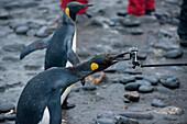 King penguin (Aptenodytes patagonicus) on beach gnaws at GoPro camera on selfie stick, Salisbury Plain, South Georgia Island, Antarctica