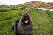 Fur seal with wide open mouth (and really bad breath), Stromness, South Georgia Island, Antarctica
