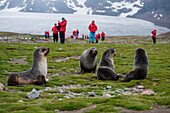 Young fur seals on meadow with pasengers of expedition cruise ship MS Hanseatic (Hapag-Lloyd Cruises) behind, St. Andrews Bay, South Georgia Island, Antarctica