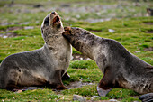 Young fur seals tussle with one another on meadow, St. Andrews Bay, South Georgia Island, Antarctica