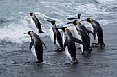 King penguins (Aptenodytes patagonicus) enter water, St. Andrews Bay, South Georgia Island, Antarctica