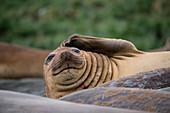 Southern elephant seal (Mirounga leonina) on beach, Gold Harbour, South Georgia Island, Antarctica