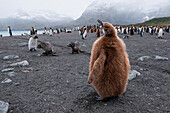 Young king penguin (Aptenodytes patagonicus) on beach, Gold Harbour, South Georgia Island, Antarctica