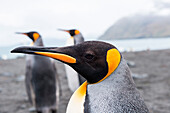Beak of a king penguin (Aptenodytes patagonicus), Gold Harbour, South Georgia Island, Antarctica