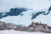 Gentoo penguins (Pygoscelis papua) on rocks, Neko Harbour, Graham Land, Antarctica
