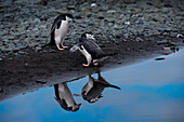 Two chinstrap penguins (Pygoscelis antarctica) admire their reflection in a shallow pool of freshwater, Aitcho Island, South Shetland Islands, Antarctica