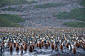 Colony of king penguins (Aptenodytes patagonicus) on hillside, Salisbury Plain, South Georgia Island, Antarctica