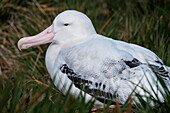 Nesting wandering albatross (Diomedea exulans), Salisbury Plain, South Georgia Island, Antarctica
