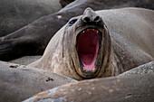 Belching southern elephant seal (Mirounga leonina) on beach, Royal Bay, South Georgia Island, Antarctica