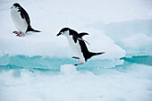 Gentoo penguin (Pygoscelis papua) jumps across ice, Laurie Island, South Orkney Islands, Antarctica