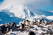Chinstrap penguins (Pygoscelis antarctica) with mountain backdrop, Half Moon Island, South Shetland Islands, Antarctica