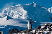 Chinstrap penguin (Pygoscelis antarctica) with mountain backdrop, Half Moon Island, South Shetland Islands, Antarctica
