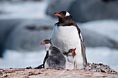 Gentoo penguin (Pygoscelis papua) with two chicks in nest, Port Lockroy, Wiencke Island, Antarctica