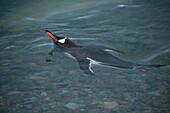 Swimming gentoo penguin (Pygoscelis papua), Neko Harbour, Graham Land, Antarctica