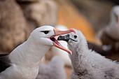 Black-browed albatross (Thalassarche melanophrys) feeds chick, New Island, Falkland Islands, British Overseas Territory