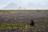 A male fur seal stands ready to protect his territory against intruders with expedition cruise ship MS Hanseatic (Hapag-Lloyd Cruises) in distance, Fortuna Glacier, South Georgia Island, Antarctica