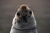 Peek-a-boo: Fur seal looking backwards, Jason Harbour, South Georgia Island, Antarctica