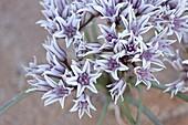 Prairie wild onion (Allium textile), Goblin Valley State Park, Utah, United States of America, North America