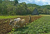 Farmer with oxen cultivating the land for tobacco crops, Vinales, Cuba, West Indies, Caribbean, Central America