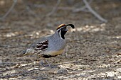 Male Gambel's quail (Callipepla gambelii), Sonny Bono Salton Sea National Wildlife Refuge, California, United States of America, North America
