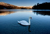 View across Grasmere on snowy winter morning with sunlight on distant fells and an adult swan on the lake edge, near Ambleside, Lake District National Park, Cumbria, England, United Kingdom, Europe