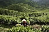 Tea harvesting at BOH Tea Plantation, in Cameron Highlands, Malaysia, Southeast Asia, Asia