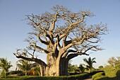 Baobab tree, Sine Saloum Delta, Senegal, West Africa, Africa