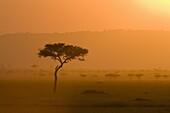 Acacia tree at sunset, Masai Mara National Reserve, Kenya, East Africa, Africa