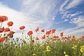 Poppies, Highland of Castelluccio di Norcia, Norcia, Umbria, Italy, Europe