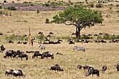 Wildlife in abundance in the Masai Mara National Reserve, Kenya, East Africa, Africa