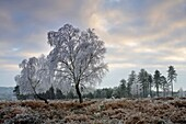 A heavy coating of hoar frost turns the New Forest trees white, New Forest, Hampshire, England, United Kingdom, Europe